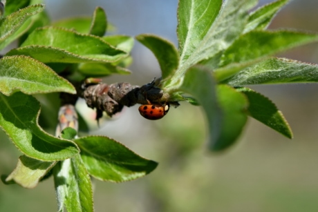 ladybug, arthropod, beetle, spring, leaf, insect, bug, nature