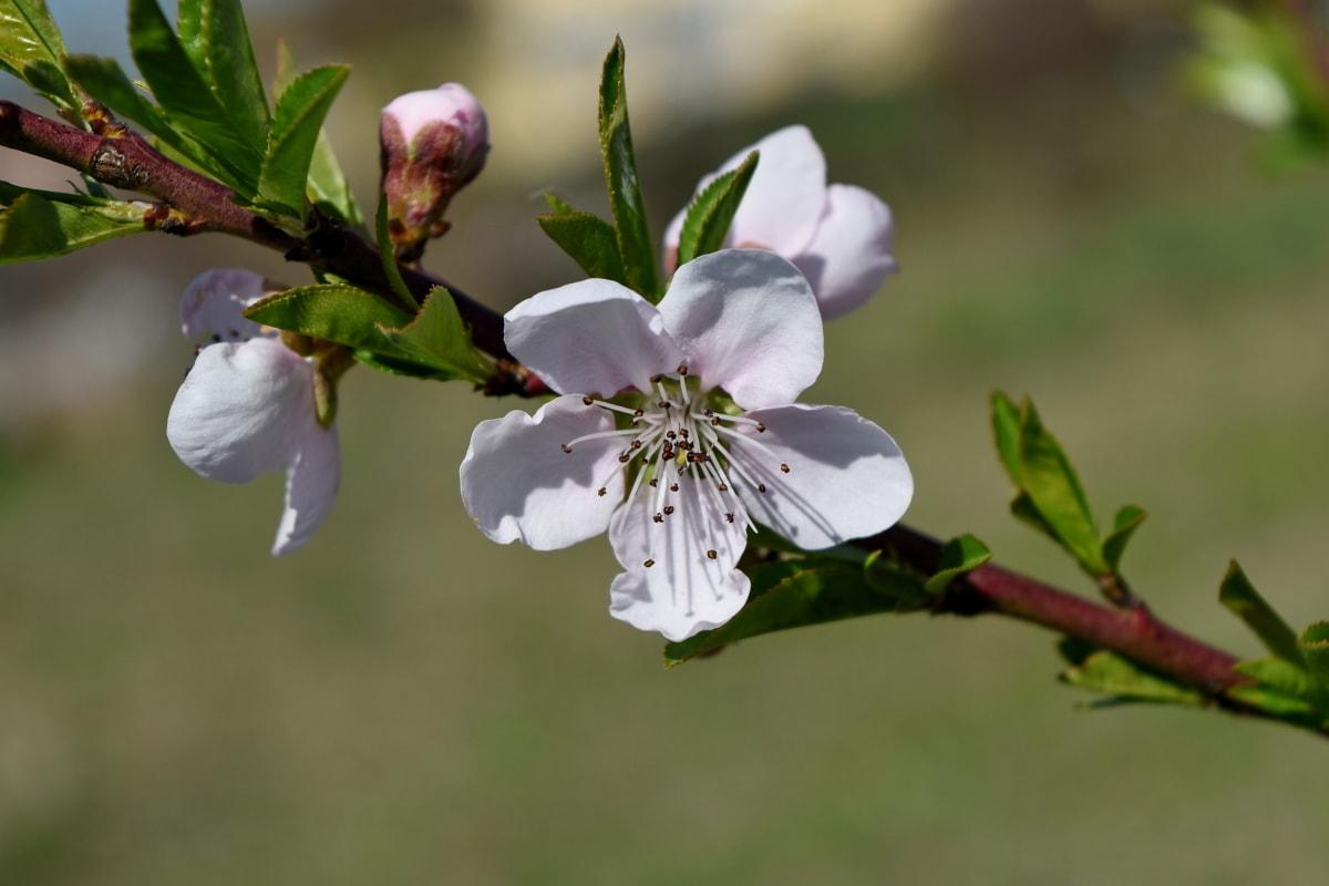 naturen, trädgård, flora, gren, blad, blommande, knopp, träd