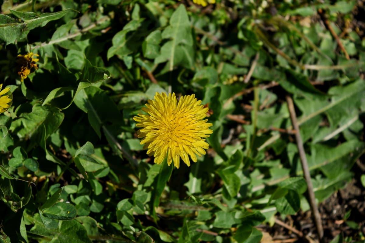 flower, plant, dandelion, vegetable, nature, herb, yellow, flora