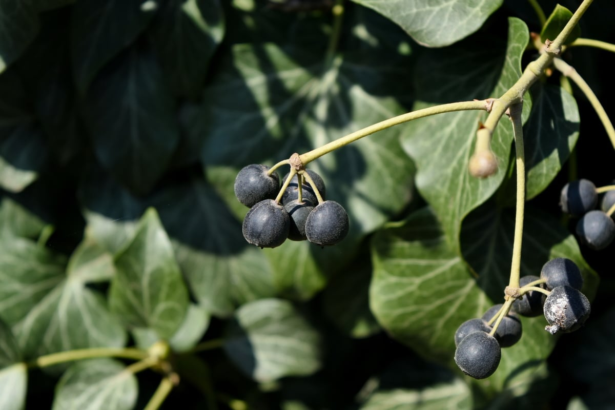 kebun anggur, daun, Berry, alam, pertanian, flora, musim panas, pohon