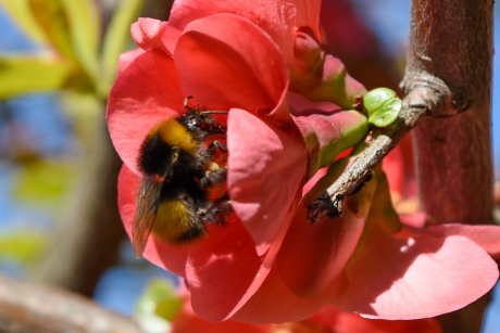 bumblebee, pollination, nature, insect, flower, shrub, plant, outdoors