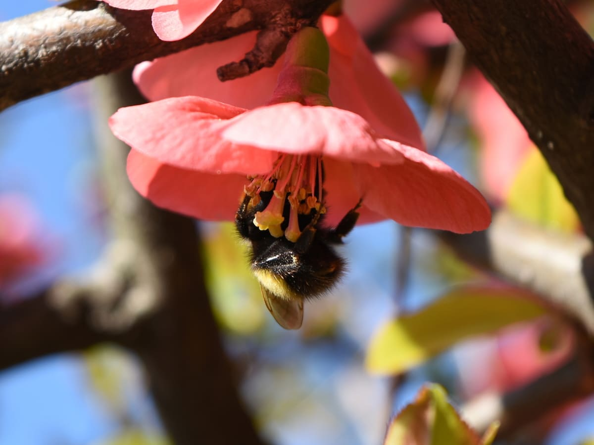 bumblebee, insect, arthropod, plant, flower, nature, outdoors, tree