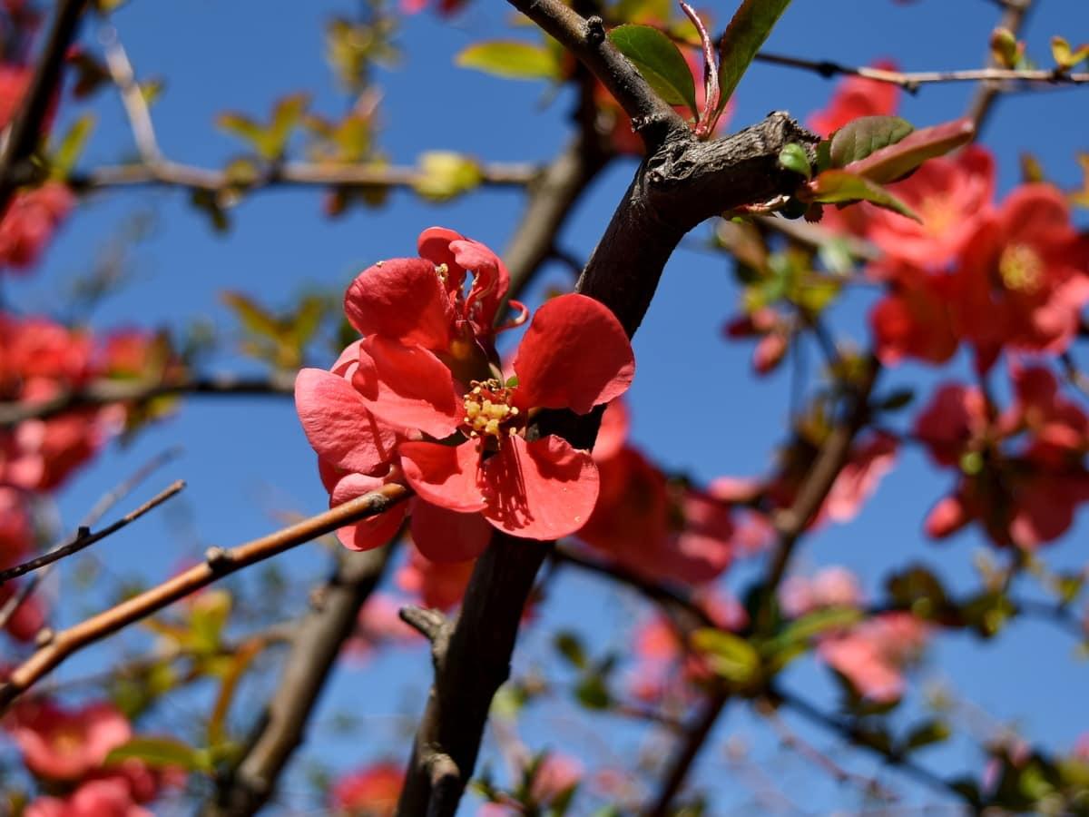 różowy, krzew, roślina, flora, Oddział, drzewo, Natura, kwiat