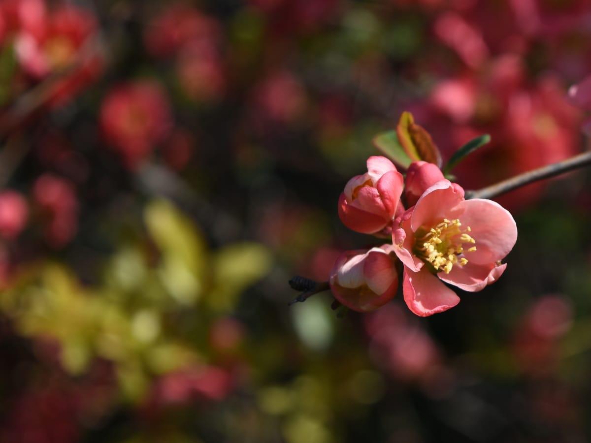 blossom, flower, petal, pink, plant, shrub, nature, garden