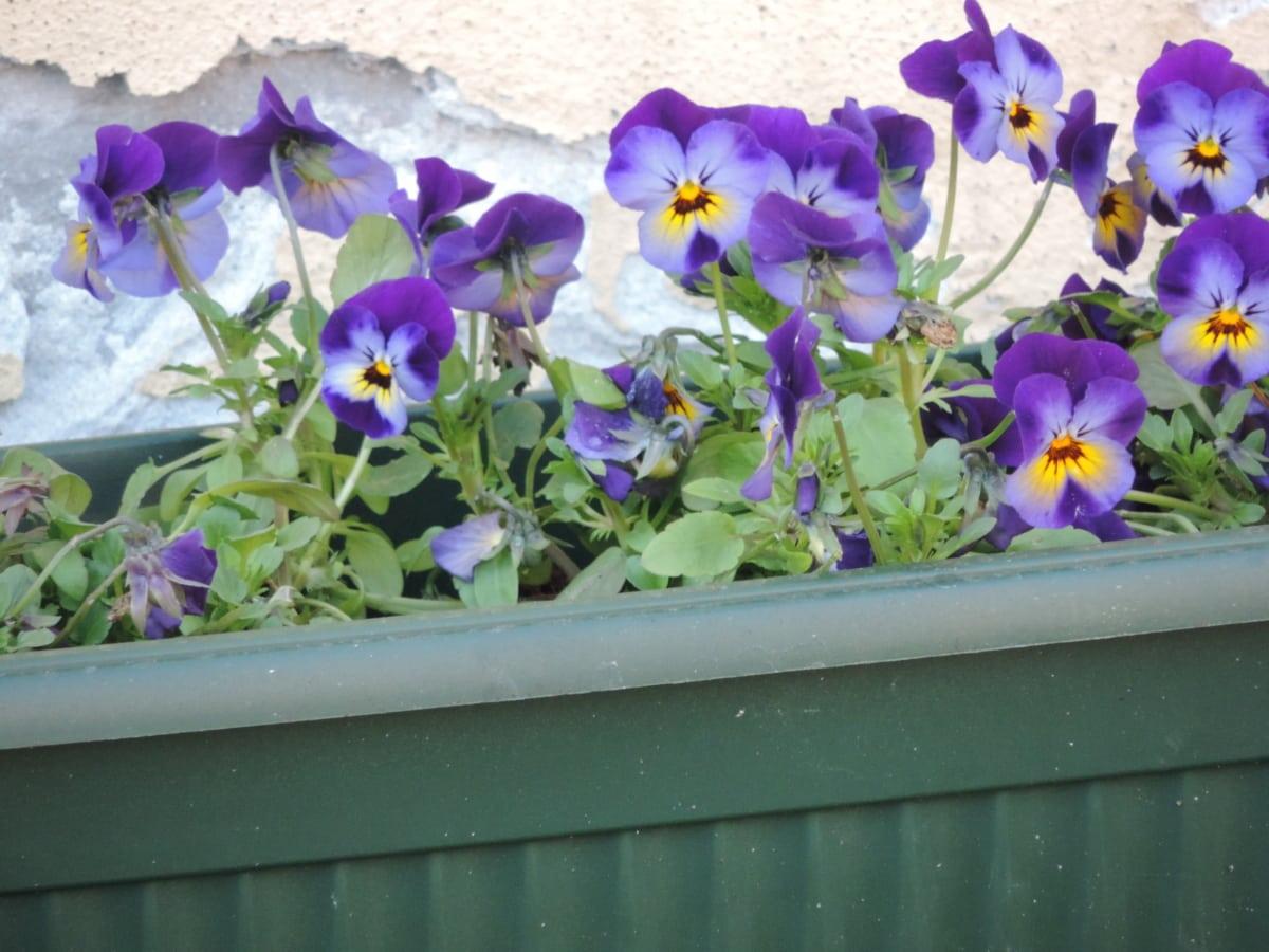 flower, garden, nature, leaf, blooming, viola, flora, summer