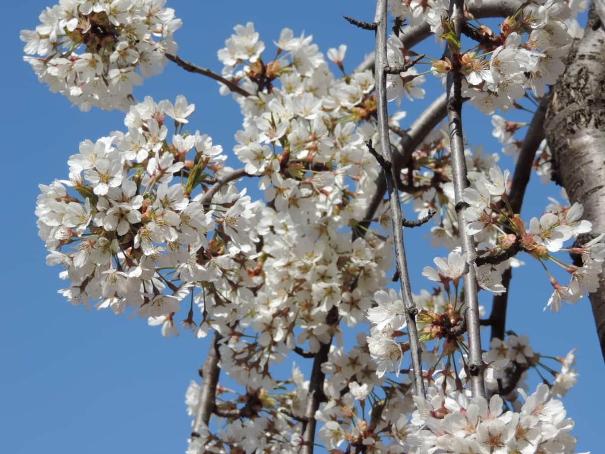 tree, branch, flower, nature, spring, apple, almond, blossom