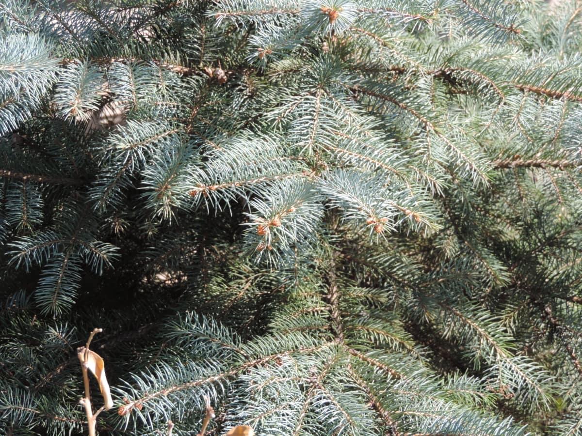 ramas, Abeto de, coníferas, invierno, pino, árbol de hoja perenne, árbol, temporada