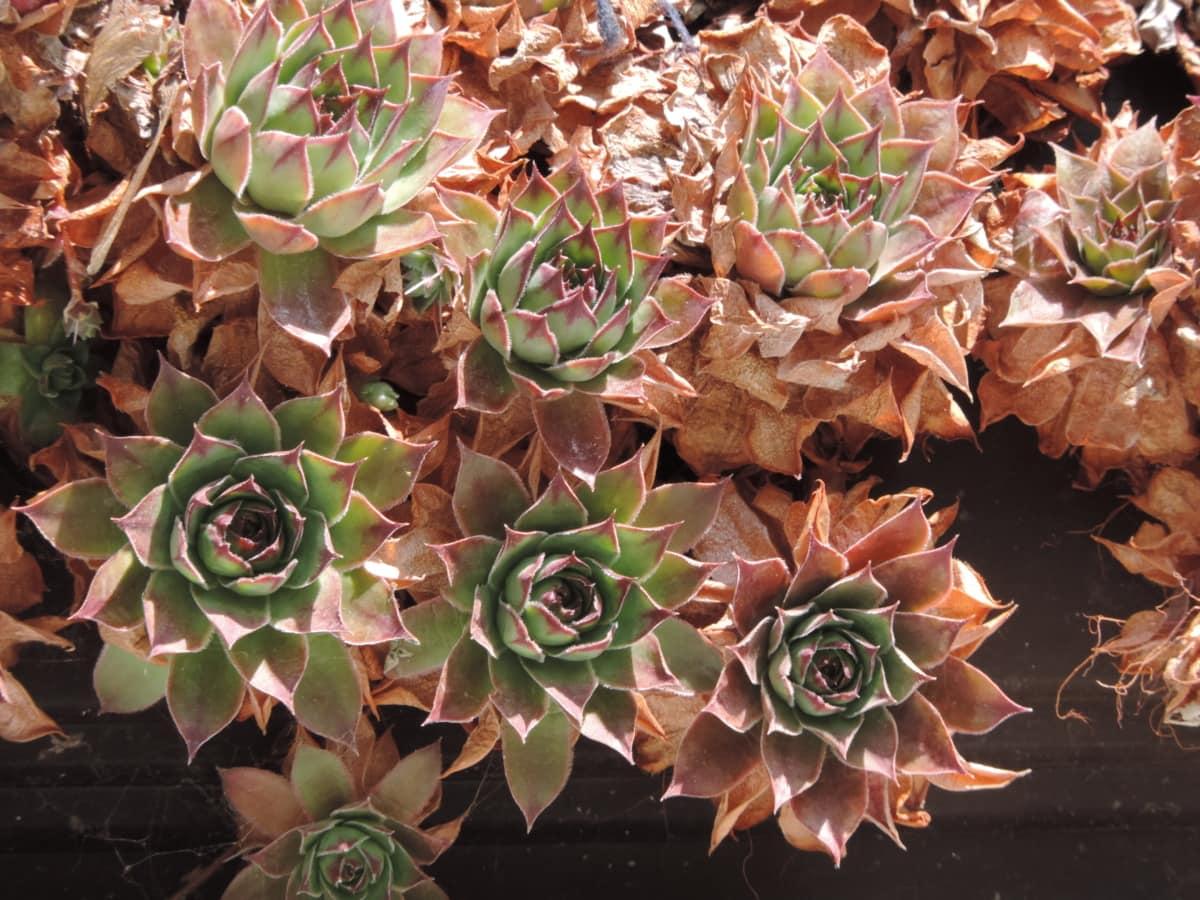 plant, nature, flora, cactus, succulent, flower, decoration, pattern