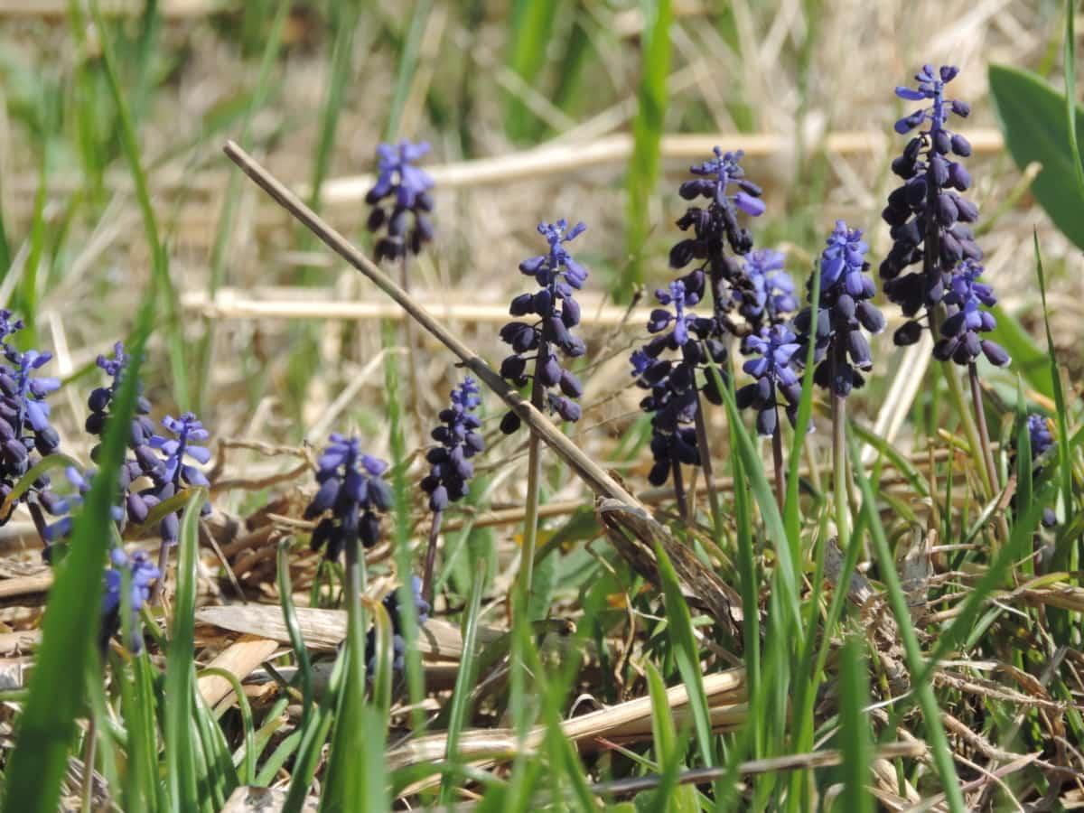 drue Jacinto, flora, urt, anlegget, natur, lavendel, bugle, blomst