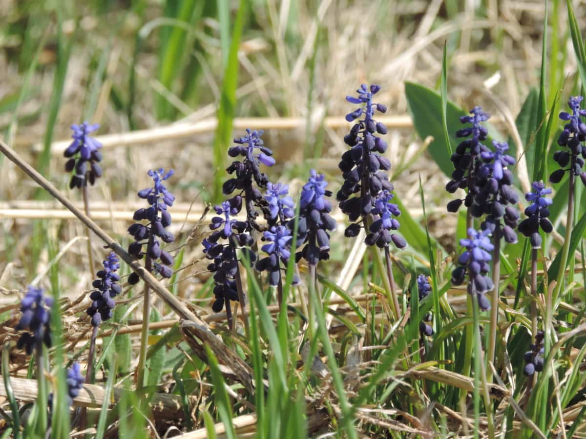 grape hyacinth, green grass, green leaves, flora, flower, herb, plant, nature