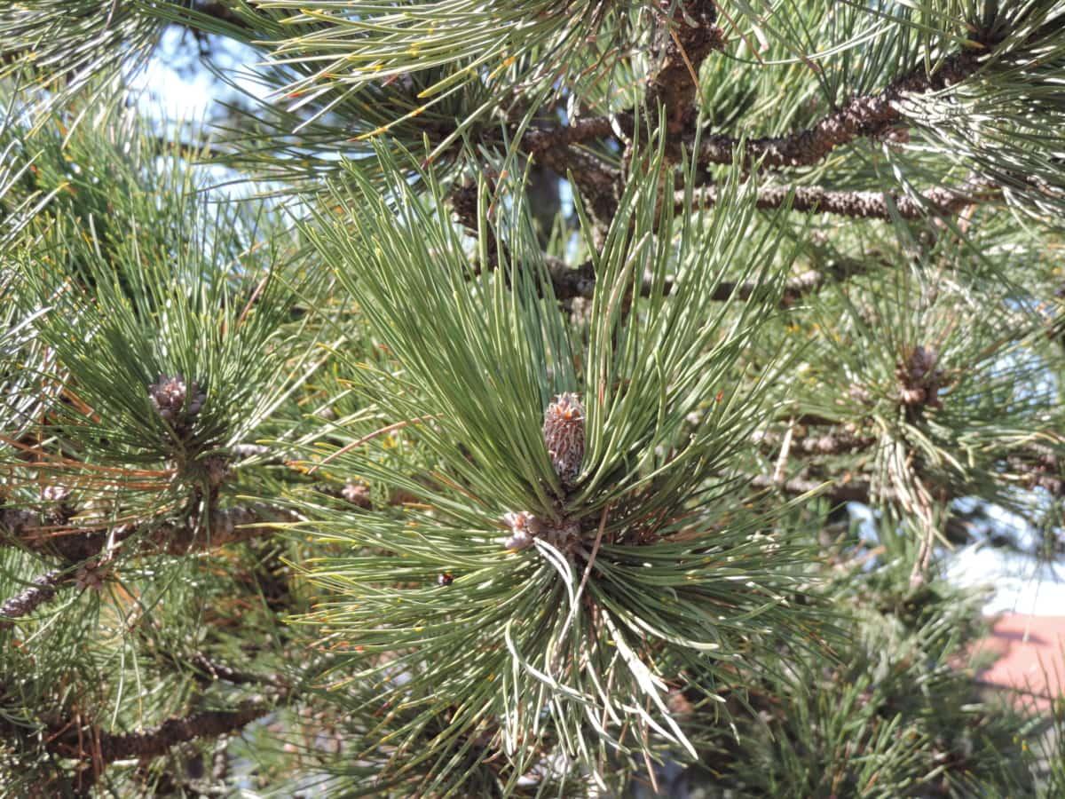 gren, træ, vinter, fyrretræ, jul, nål, stedsegrønne, nåletræ