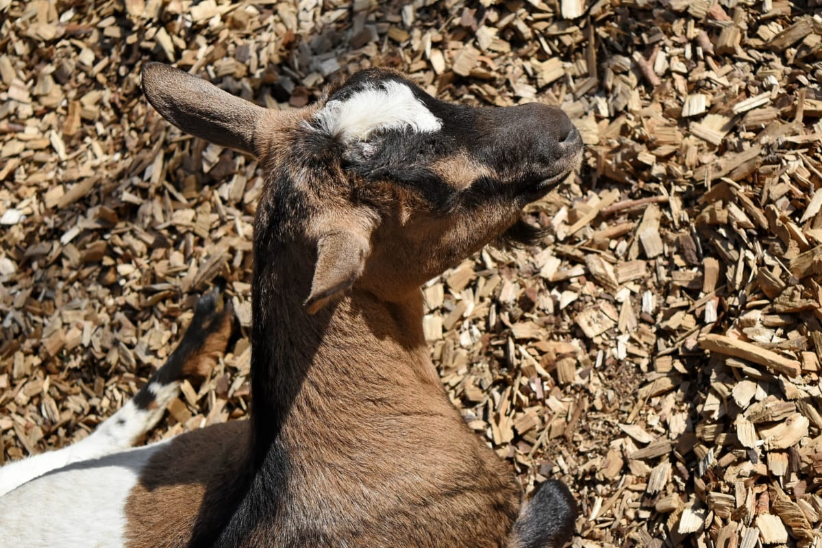 koza, glava, biljni i životinjski svijet, priroda, životinja, divlje, na otvorenom, krzno