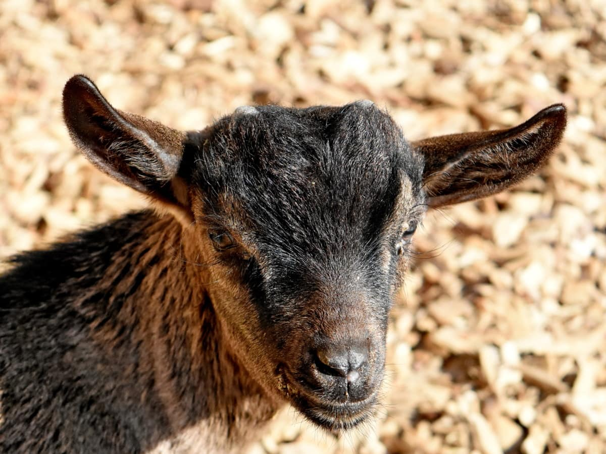 goat, wildlife, animal, livestock, nature, portrait, outdoors, farm