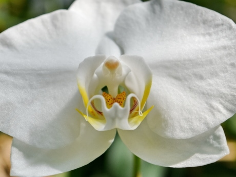 detail, orchid, petal, pistil, white, beautiful, beautiful flowers, bloom