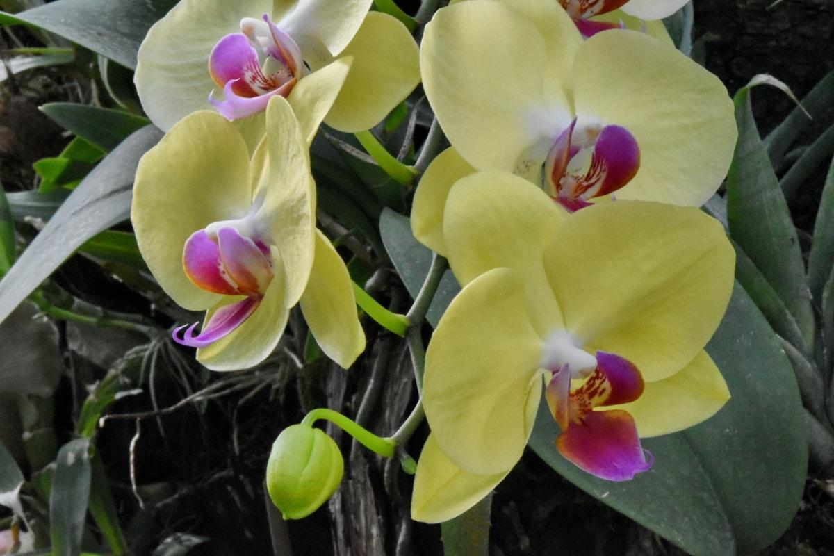 Orchidee, Blütenblatt, Garten, exotisch, blühen, Flora, Blume, Natur