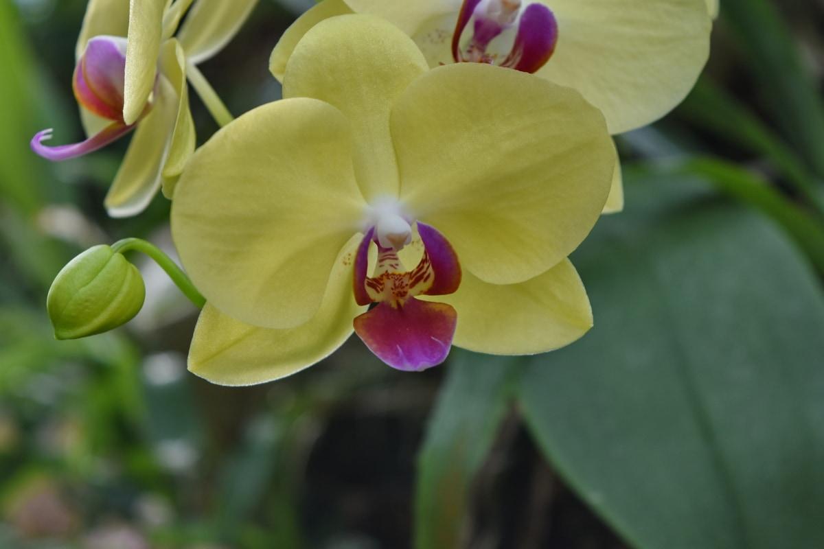 μπουμπούκι, λουλούδι στον κήπο, ορχιδέα, ύπερο, γύρη, τροπικά, Όμορφο, όμορφα λουλούδια