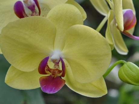 orchid, pollen, yellowish, petal, plant, flower, nature, flora
