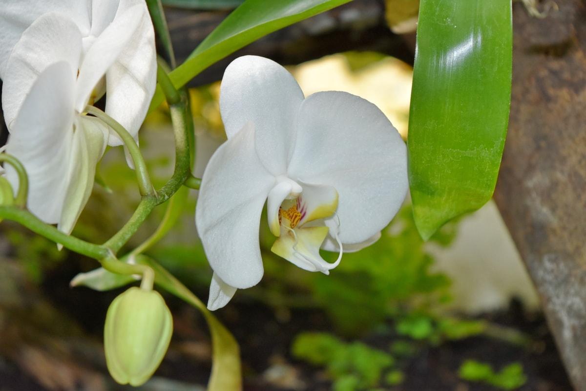 vackra blommor, orkide, regnskog, tropisk, flora, blad, blommor, Anläggningen