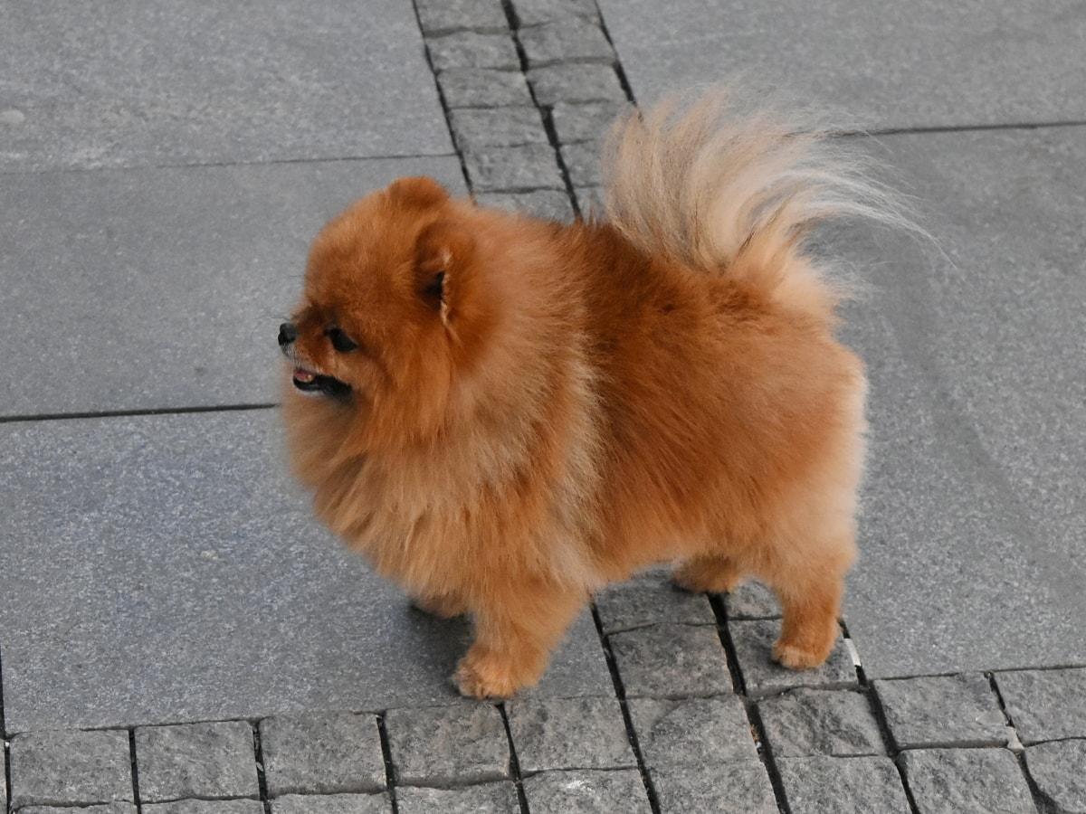 canine, cute, fur, dog, portrait, puppy, pavement, funny