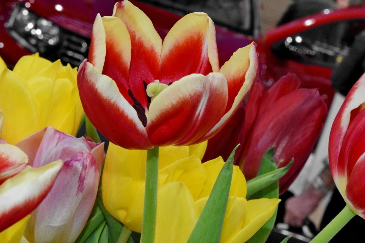 Пролет, букет, лале, флора, растителна, цвете, лалета, разцвет