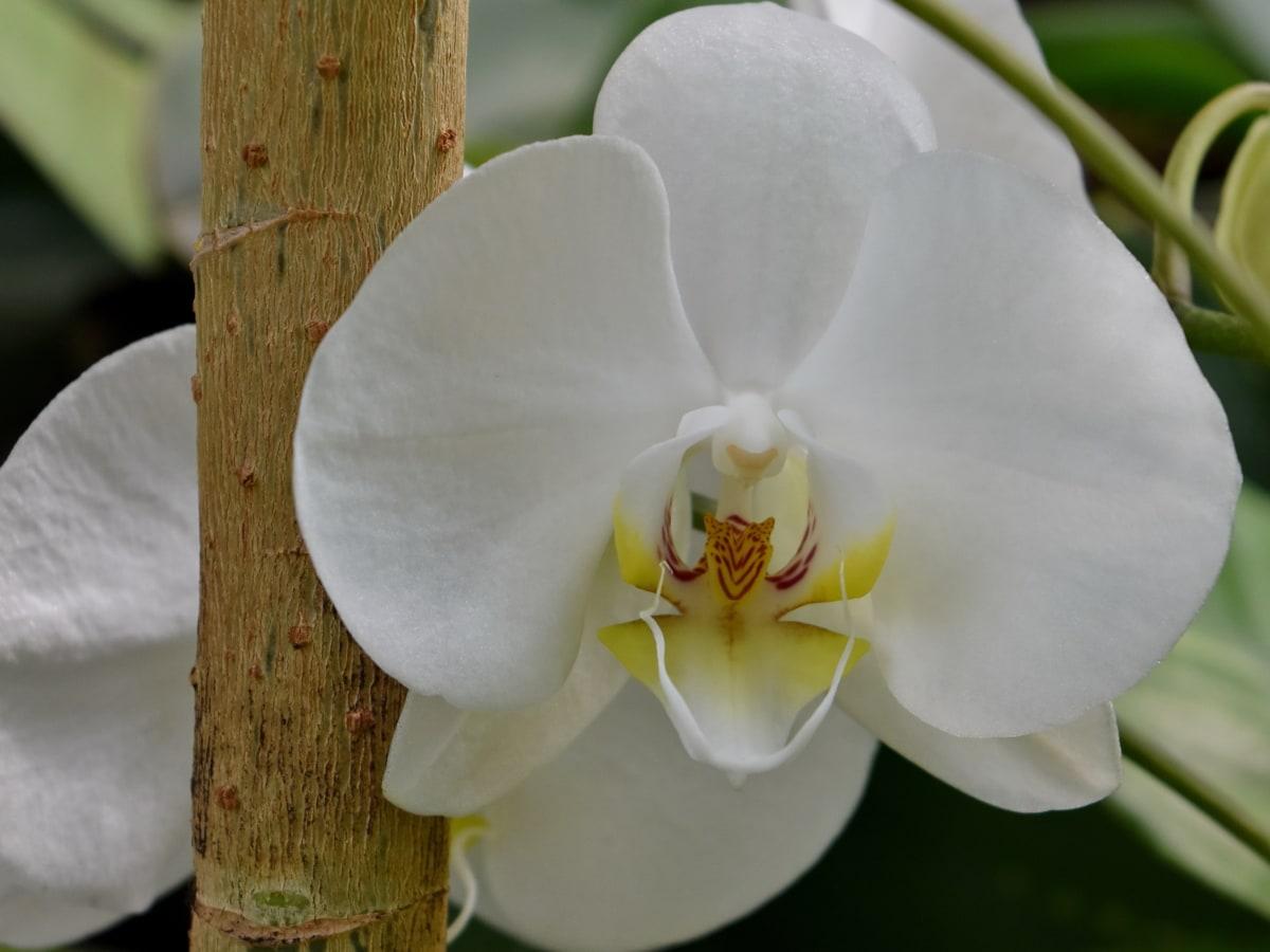 elegantan, cvjetni vrt, orhideja, tučak, biljka, tropska, cvijet, drvo