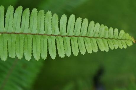 fern, green leaf, plant, flora, leaf, nature, outdoors, wood