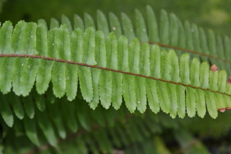 plant, fern, flora, leaf, nature, outdoors, summer, environment
