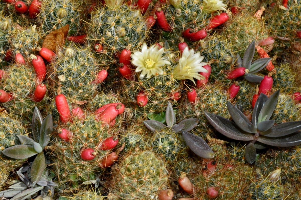Kwiat ogród, Natura, Kaktus, flora, Dekoracja, soczyste, Pustynia, liść