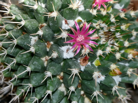 detail, pinkish, pistil, spike, succulent, sharp, cactus, flora