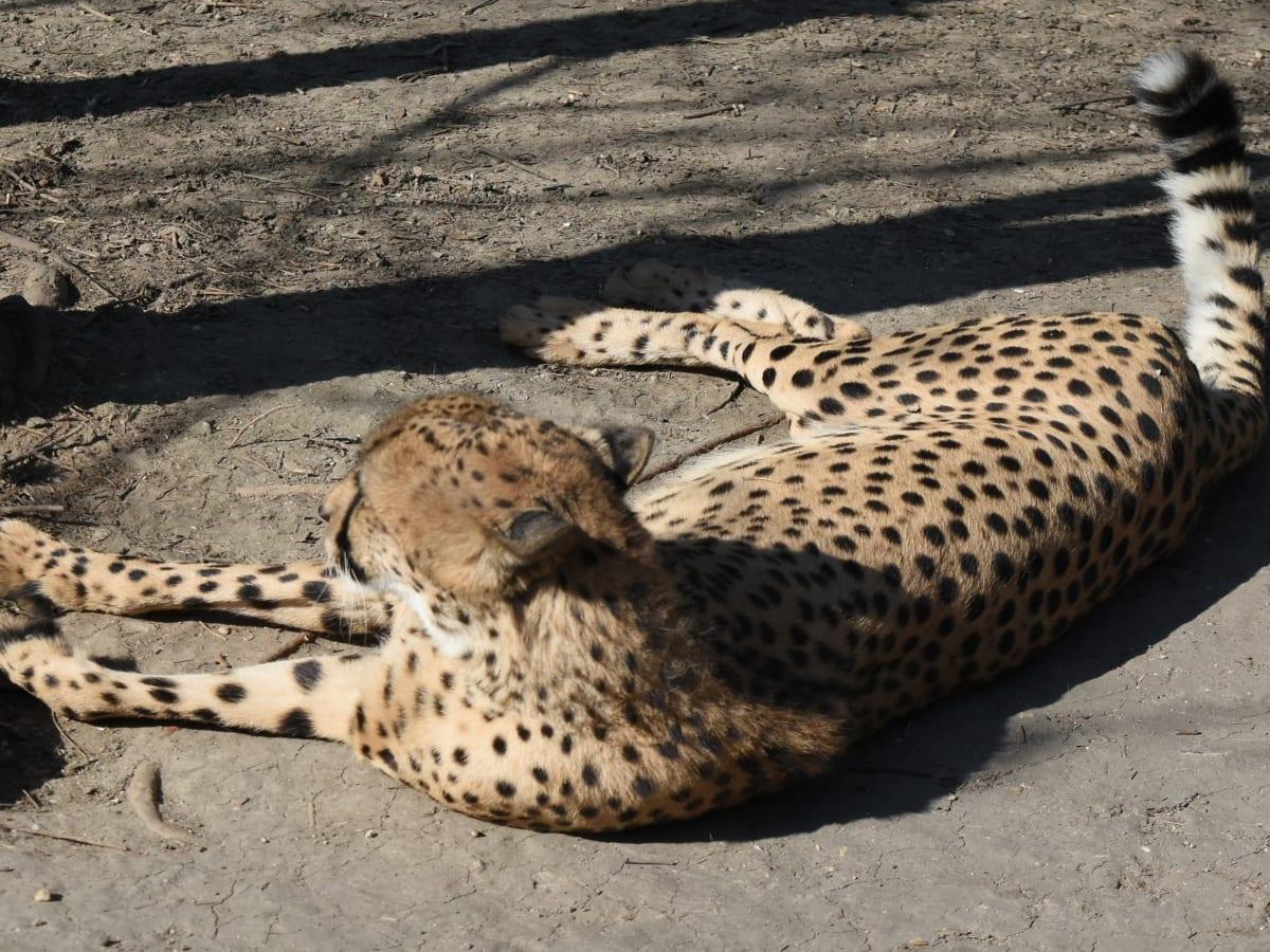 Leopard, feline, kat, vilde, gepard, Safari, dyreliv, saalistaja