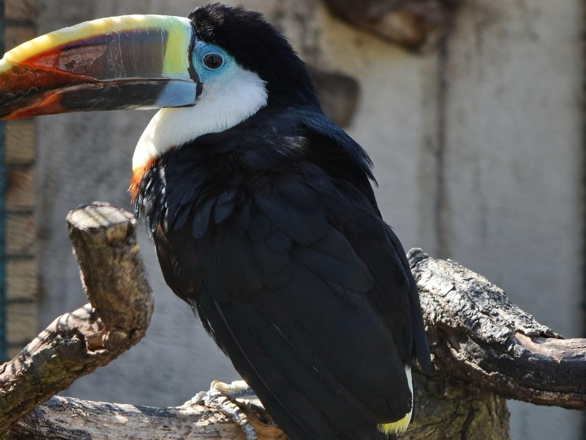 sideudsigt, Toucan, vilde, fjer, dyreliv, næb, fugl, dyr