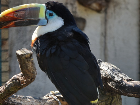 side view, toucan, wild, feather, wildlife, beak, bird, animal