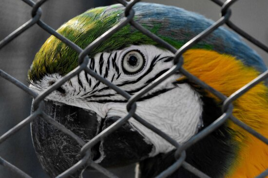 animal, parrot, macaw, bird, wildlife, cage, outdoors, fence