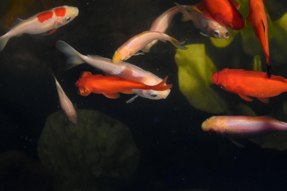 χρυσόψαρο, υποβρύχια, ενυδρείο, κολύμπι, ψάρια, νερό, άγρια φύση, κίνηση