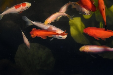 goldfish, underwater, aquarium, swimming, fish, water, wildlife, motion