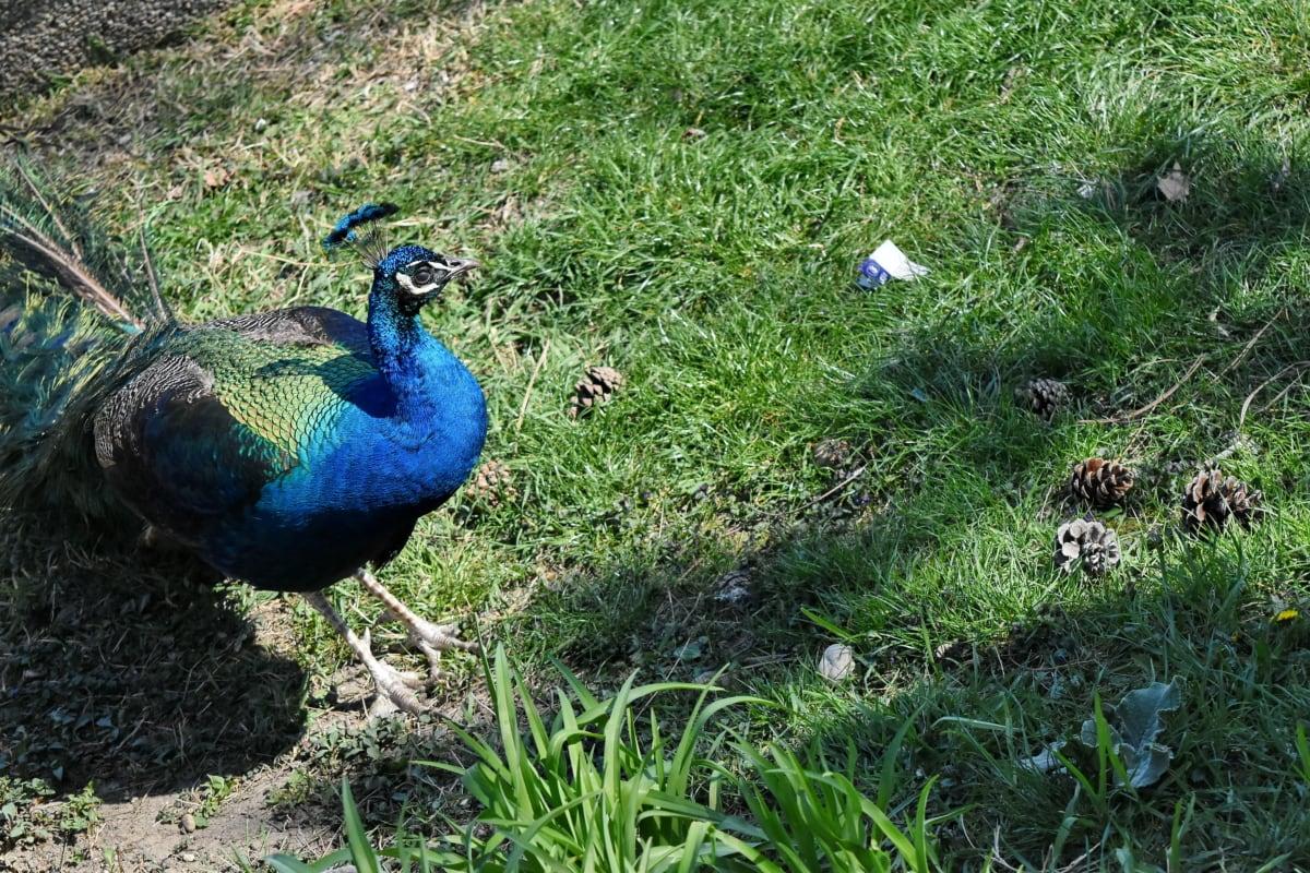 bec, panache, nature, paon, oiseau, à l'extérieur, animal, herbe