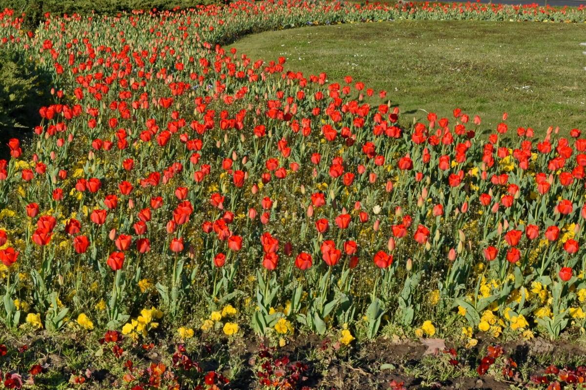 цветя, Пролет, цвете, поле, флора, лале, растителна, природата
