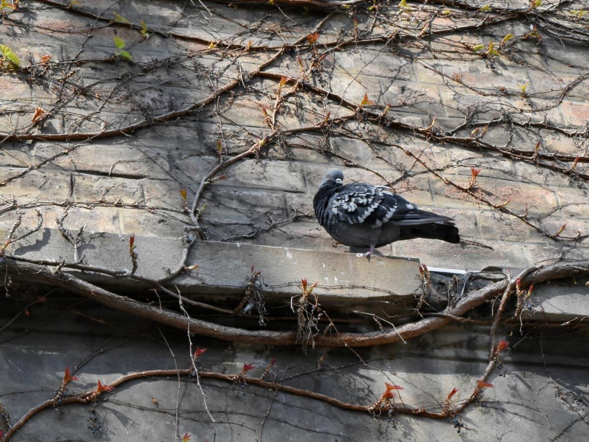pigeon, bird, dove, nature, tree, outdoors, wildlife, animal