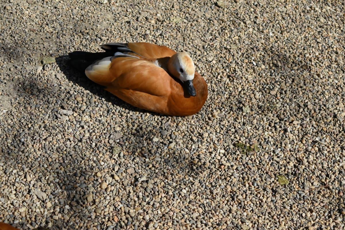 duck, animal, beach, bird, color, daylight, environment, ground