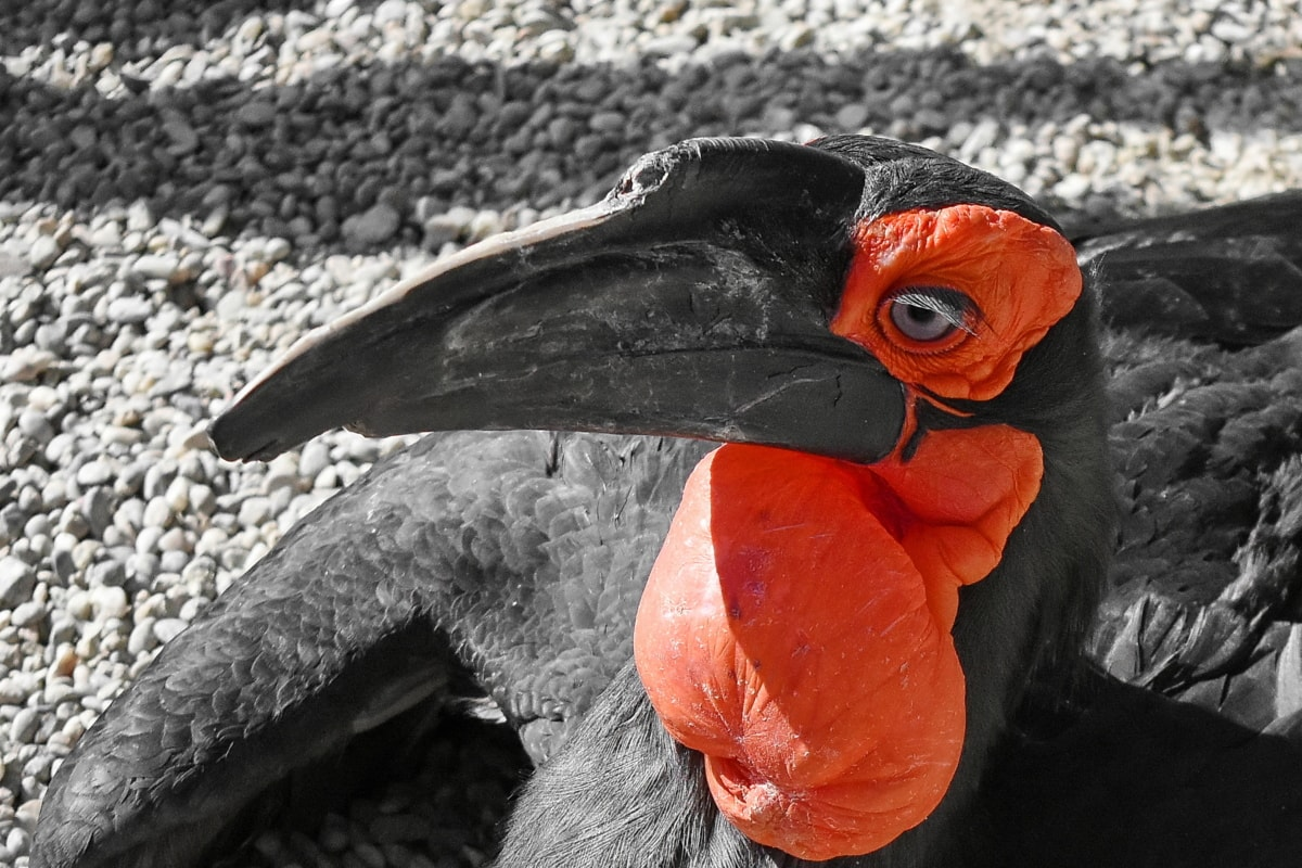 exotic, red, beak, animal, bird, wildlife, nature, feather