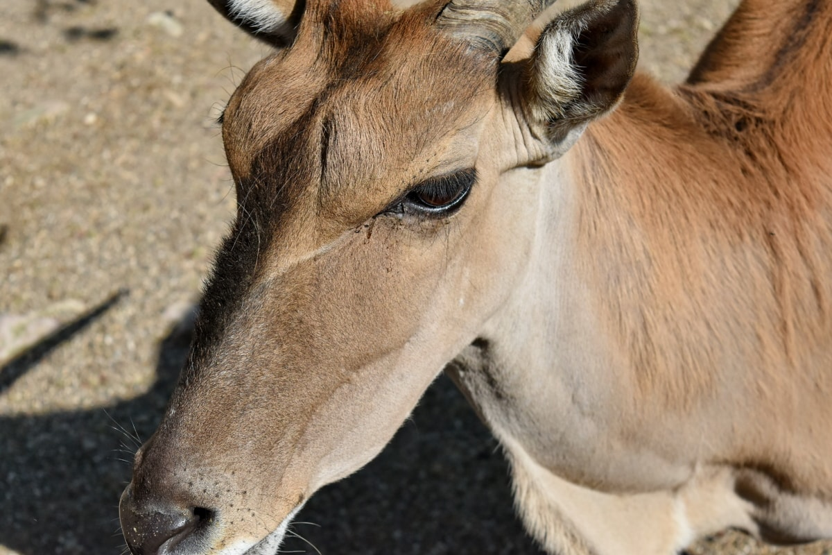 animal, animals, antelope, brown, cute, equine, eye, farm