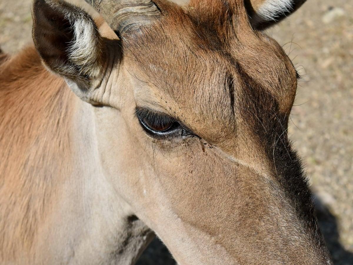 Afrika, Safari, antilopa, hnědá, fajn, poušť, koní, oko