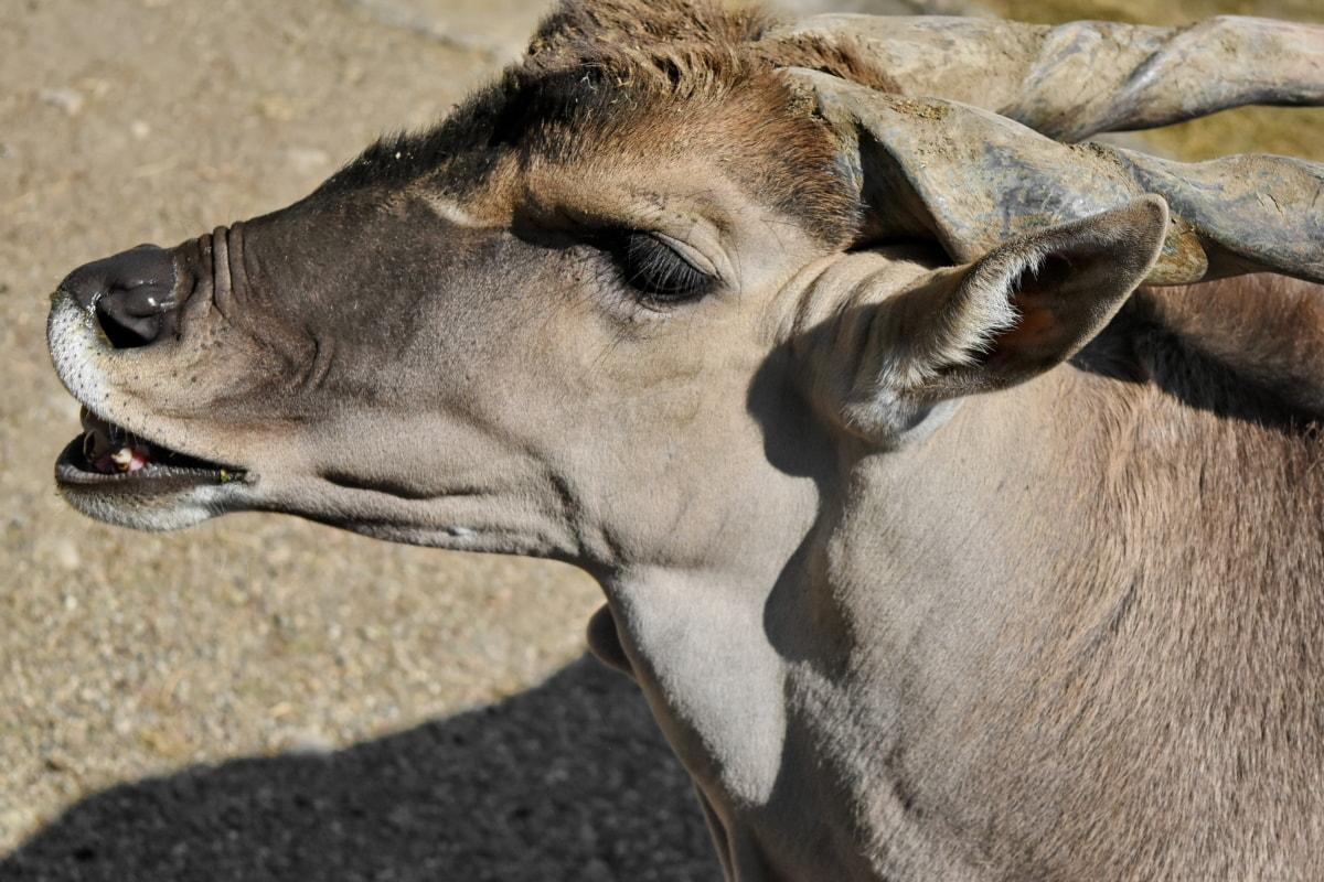 antelope, portrait, animal, animals, brown, cute, desert, face