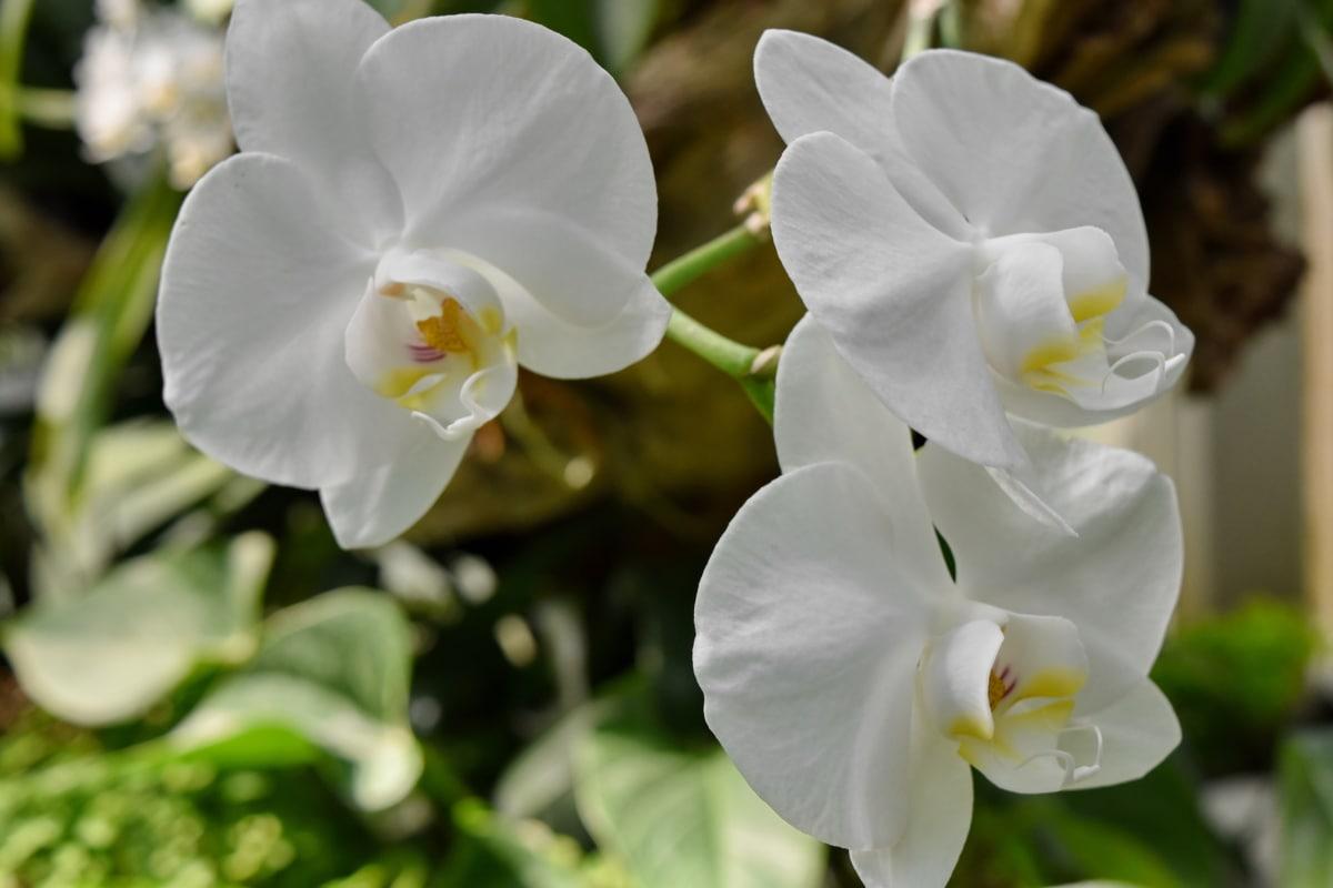 orhideja, bijeli cvijet, cvijet, flore, vrt, cvatnje, biljka, priroda