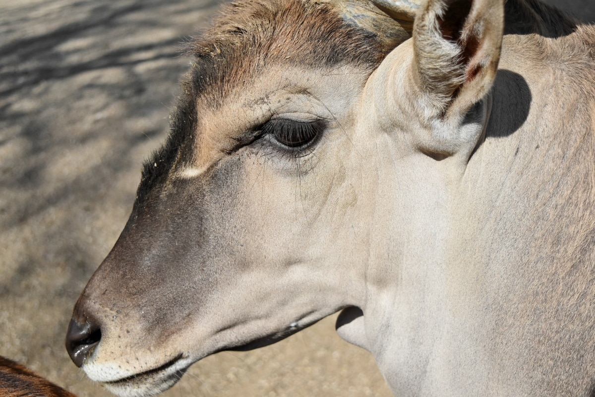 África, animal, animales, Antílope, marrón, lindo, ciervo, equinos