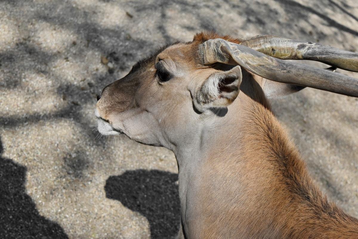 zvíře, antilopa, velký roh, hnědá, fajn, denní světlo, poušť, oko