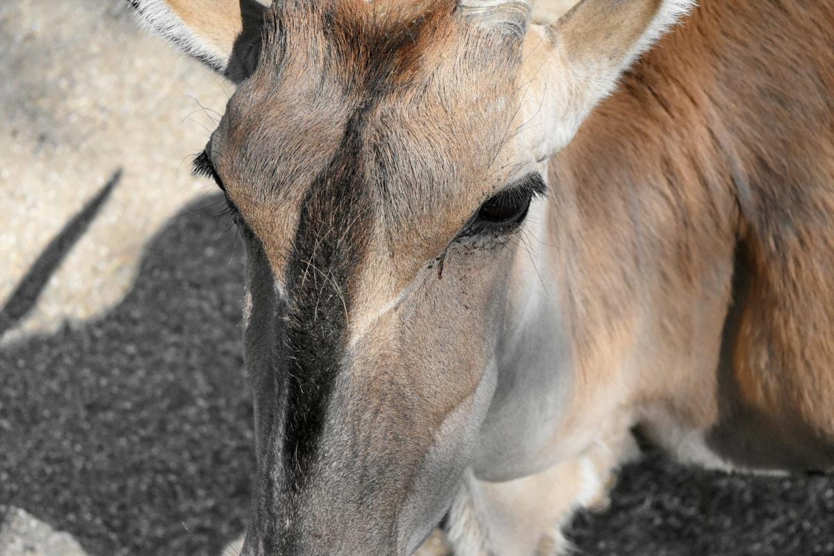 zvíře, antilopa, hnědá, fajn, jelen, ekologie, prostředí, oko