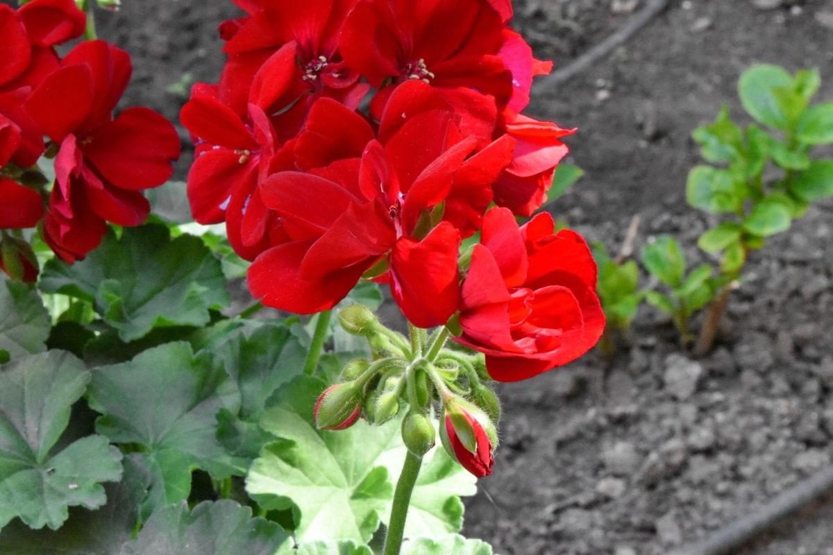 blossom, flower, petal, geranium, flora, herb, nature, plant