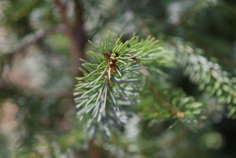 conifer, green leaves, branch, plant, nature, evergreen, pine, tree