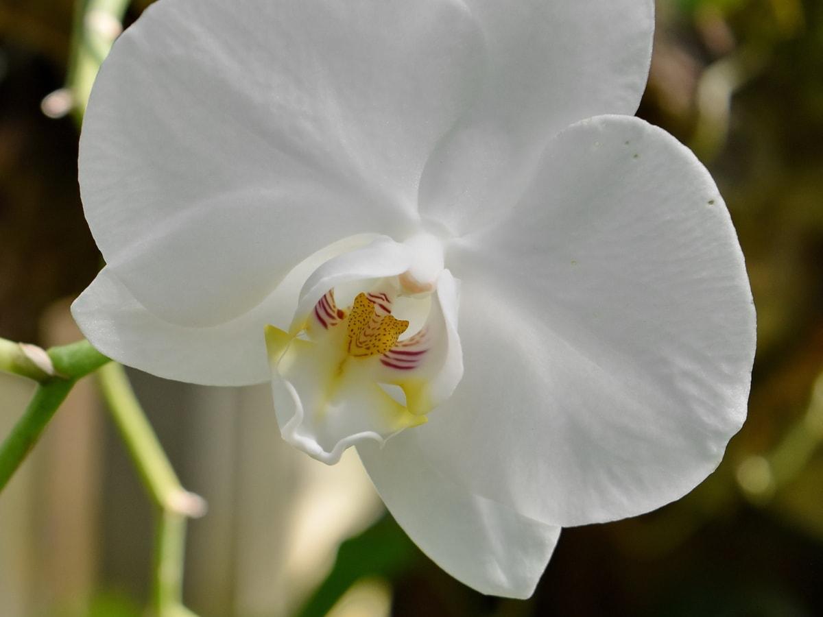 ботаническа, цветна градина, орхидея, тропически, цвете, бяло, флора, венчелистче